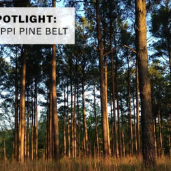 The Mississippi Pine Belt