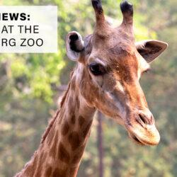 Giraffes at the Hattiesburg Zoo